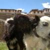 piccolo yak a Demul